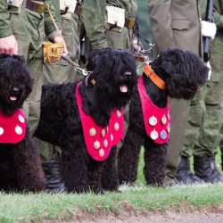Black Russian Terriers at work in Russia